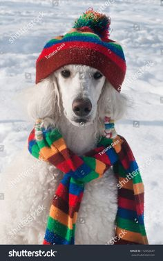 stock-photo-winter-dog-portrait-white-poodle-sitting-in-snow-wearing-stripe-scarf-and-hat-112452647.jpg 1,004×1,600 pixels
