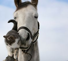 Barn kitties love horses - who love them right back! Our Marm used to walk all the way up to hang out with Sadie Duggan :)