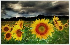 Sunflowers, Change in the weather, 11x17, Original, Fine Art photograph, clouds, nature decor, color photography, Home decor
