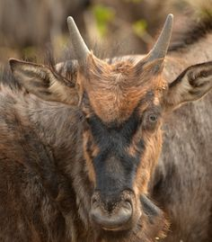South African images of the day - page 10 Blue Wildebeest, African Image, Tourist Information, Image Of The Day, South Africa, Places To Go, Animals, Animaux, Animales