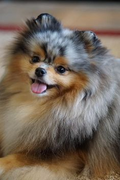 So fluffy! Love that little Pomeranian tongue too!