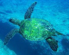 Voor deze afbeelding geldt eigenlijk dezelfde tekst als de foto van de zwartwittere zeeschildpad. Mooie en zeer bruikbare houding.