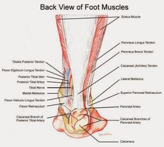 Myndaniðurstaða fyrir latin words for nerves in feet anatomy Ankle Anatomy, Foot Anatomy, Human Body Anatomy, Muscle Anatomy, Anatomy Organs, Anatomy And Physiology, Exercise Physiology, Soleus Muscle, Sports Therapy