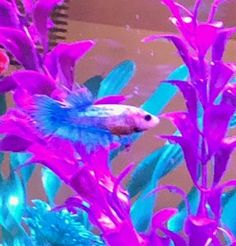 Bloated Betta -help (before image)