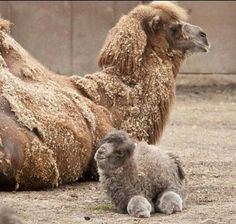 Dromedary mother and cub