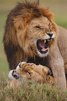 Mating lions. Photo by Stephan Tuengler**
