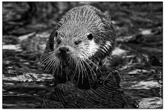 Arbeiten mit Otter. u.A. Arbeiten für den Tierkalender 2014 - Works for the animal calendar 2014. Copyright Johnny Krueger - www.pfotograf.info