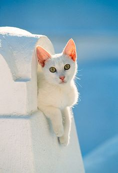 Cyclades' white compared to a lovely cat's white on the eternally enchathing blue backgound of the Greek sky.