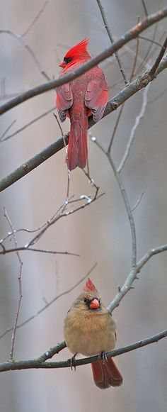Male + Female Northern Cardinals