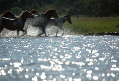 Horses running on Chincoteague Island.