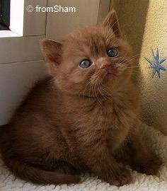 Be still my beating heart!  A cinnamon kitten! <3