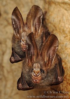 Megaderma spasma - Despite its name, the Lesser False Vampire bat does not drink blood but rather feeds on a wide variety of arthropods as well as smaller bats. By day it roosts in shallow caves or hollow trees.
