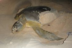 A female flatback turtle lays her eggs on Gardangarl (Field Island) a critical nesting habitat for the turtles. http://blog.parksaustralia.gov.au/2015/02/14/how-far-does-a-flatback-turtle-swim/