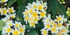 🌼🌿🌷 Πλουμέρια, ένα πανέμορφο δέντρο με υπέροχα αρωματικά μπουκέτα από λουλούδια που διαρκούν από το καλοκαίρι μέχρι το φθινόπωρο. Ένα εξωτικό φυτό που μεταμορφώνει τον κήπο και το μπαλκόνι μας. 🌻 Στη χώρα μας, είναι ιδιαίτερα διαδεδομένη σε νότιες περιοχές και νησιά, όπου διαθέτει αρκετές τοπικές ονομασίες όπως ινδικό φούλι, αιγυπτιακό φούλι, ροδίτικο φούλι και φραντζιπάνι. 🌸 Η πλουμέρια αγαπάει πολύ τη ζέστη και χρειάζεται απευθείας ηλιακό φως για αρκετές ώρες την ημέρα για να ανθίσει.