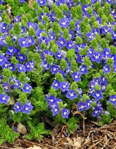 """Veronica, """"Tidal Pool"""", low growing ground cover (Speedwell)"""