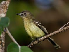 Amarelinho-da-amazônia (Inezia caudata)