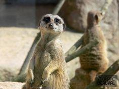#Suricate au ZooParc de Beauval