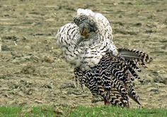 Kemphaan (Afkomstig van vroegevogels. vara. nl)