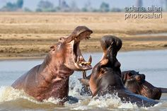 A hippo fight