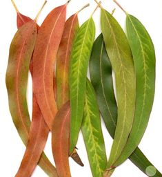 Visit the Essential Natural Oil online to get the best eucalyptus oil. The eucalyptus essential oil helps to treat bacterial infections and reduces fever. Lemon Eucalyptus, Eucalyptus Essential Oil, Organic Essential Oils, Eucalyptus Leaves, Be Natural, Natural Healing, Natural Oils, Sensory Garden, Tree Seeds