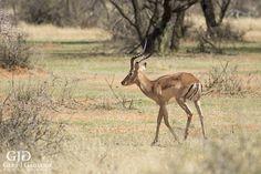 Redbuck (Rooibok). Wildlife photo taken at Dronfield Nature Reserve outside Kimberley. #rooibok #wildlife #nature #photography #gertjgagiano