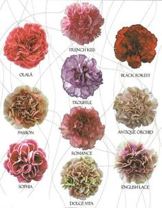 new carnation varieties- Amber, remember what I was saying about carnations. not just a filler flower.
