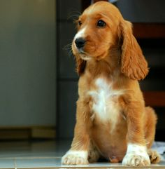 spaniel ...........click here to find out more http://googydog.com ...... P.S. PLEASE FOLLOW ME IN HERE @Emily Schoenfeld Schoenfeld Schoenfeld Schoenfeld Wilson