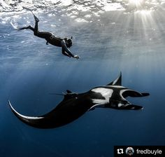 #Mantarays are such majestic creatures! #oceanlover #oceanfilmtour #oceanlife #freediving