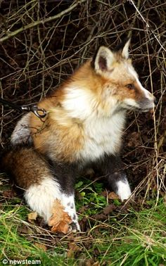 Todd the fox who was rescued as a baby cub and thinks he is a DOG | Daily Mail Online