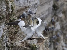 Courting Gannets by Richard McManus on 500px