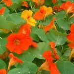 5 Reasons Why You Should Grow Nasturtiums Near Vegetables