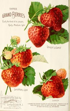 Page from 'Lovett's Illustrated Catalogue of Fruit and Ornamental Trees and Plants for the Autumn of showing 'Three Grand Berries' - 'Lovett's Early', 'Shuster's Gem' and 'Gandy.' Introduced & for sale by J. Lovett Co. Little Silver. Strawberry Cream Pies, Strawberry Seed, Strawberry Garden, Strawberry Drawing, Strawberry Fields, Vintage Seed Packets, Seed Catalogs, Fruit Art, Vintage Diy