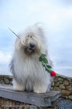 .Old English Sheepdog