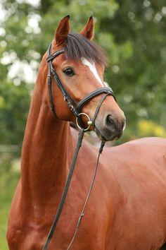 Nerio, a Westphalian gelding. German Horse Center.