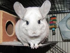 Click through to read how looking at this #chinchilla can improve your productivity! #pets