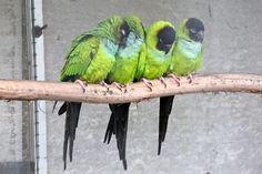 Nanday Parakeet ~ Photographer: Hans Nerstu