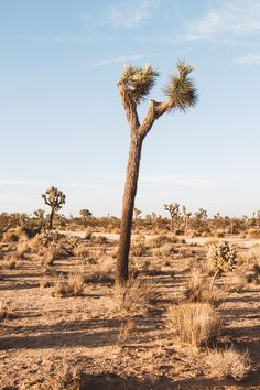 An ongoing creative project documenting the uniquely interesting Joshua trees in and around the high desert. Joshua Tree National Park, National Parks, Visit California, Ecology, Climate Change, Monument Valley, Trees, Creative, Projects