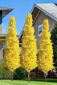Always wanted a GInkgo tree but didn't have the space? The Sky Tower Ginkgo is a very compact and upright variety that grows only 15 to 20 feet tall and.