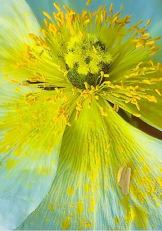 Close up of pollen-stained petals. Unique Flowers, Exotic Flowers, Amazing Flowers, My Flower, Beautiful Flowers, Cactus Flower, Foto Fantasy, Macro Photography, Belle Photo