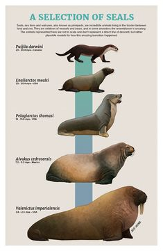 Pinnipeds (seals and sea lions, walruses and seals) appear to have originated in the Canadian Arctic, where a common ancestor like an otter lived about million years ago (Miocene) Prehistoric Wildlife, Prehistoric Dinosaurs, Prehistoric World, Prehistoric Creatures, Dinosaur Illustration, Especie Animal, Spinosaurus, Dinosaur Art, Extinct Animals