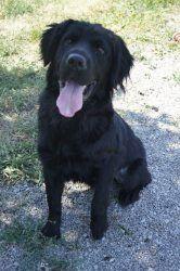 Dog in St. Catharines, ON. Freddie, Male, 6 months, Lab/Newfoundland ...