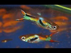 Guppy Endler mężczyzna cobra (lebistes retic. Endler Cobra) akwariowe ryby można kupić w Aquariumvissenwinkel.nl
