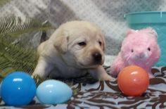girl English Lab Puppies, Labrador Retriever, Dogs, Animals, Labrador Retrievers, Animaux, Doggies, Animal, Animales