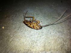 Roach found on 08/12/2013. Dead!