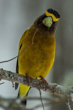 Grosbeak, CanadaBy Tynski Photographic Wild Bird Trust