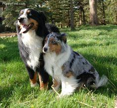 The cute couple. Australian Shepherds.