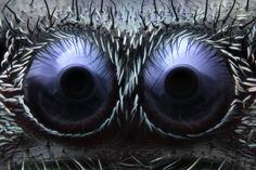 Onder de microscoop | de ogen van een springspin  ©Noah Fram-Schwartzt
