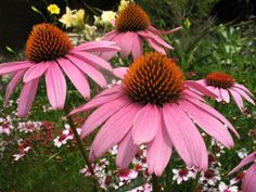 Top 10 Flowers That Bloom all Year -  Purple Coneflower  The Purple Coneflower is better planted from the middle of summer to the beginning of autumn. Unlike the previous one, it needs 40 degrees of temperature and is relatively higher than all of them as it grows up to 3 feet.