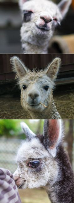 Animals March Madness, Round Two: Otters Vs. Alpacas