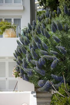 Echium Garden by Peter Fudge | Shared by Fireman's Finds